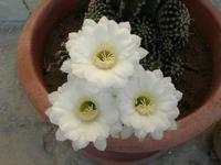 i delicatissimi fiori bianchi di una pianta grassa - 2 agosto 2010  - Alcamo (3096 clic)
