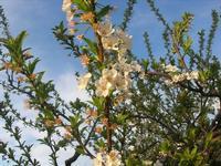 fiori di pruno - 30 marzo 2011  - Alcamo (1074 clic)