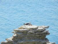 nido di gabbiani sullo scoglio - 8 maggio 2011 TERRASINI LIDIA NAVARRA
