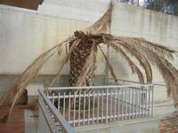 Zona Plaja - palma distrutta dal punteruolo rosso - 28 ottobre 2011  - Alcamo marina (575 clic)