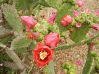 fiori di ficodindia - 22 maggio 2011 TERRASINI LIDIA NAVARRA