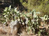 Riserva Naturale Orientata Monte Pellegrino - piante di ficodindia - 8 agosto 2011 PALERMO LIDIA NAV