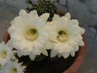 i delicatissimi fiori bianchi di una pianta grassa - 2 agosto 2010  - Alcamo (2562 clic)