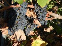 tempo di vendemmia - uva nera - 31 agosto 2011  - Salemi (1090 clic)