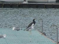gabbiani e cormorano al porto - 2 novembre 2011  - Castellammare del golfo (633 clic)
