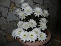 fiori di cactus appena sbocciati in 19 contemporaneamente - 1 giugno 2011  - Alcamo (793 clic)