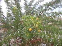 Zona Canalotto - arbusto con spine - 11 ottobre 2011  - Alcamo marina (768 clic)
