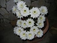 fiori di cactus appena sbocciati in 19 contemporaneamente - 1 giugno 2011  - Alcamo (845 clic)