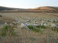 ovini al pascolo - 21 agosto 2011  - Sambuca di sicilia (1594 clic)