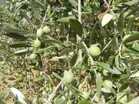 olive - 14 settembre 2011  - Alcamo (1059 clic)