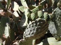 Riserva Naturale Orientata Monte Pellegrino - piante di ficodindia - particolare - 8 agosto 2011 PAL
