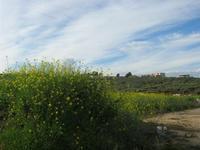 panorama agreste con fiori gialli - 30 gennaio 2011  - Buseto palizzolo (1151 clic)