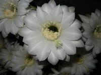 fiori di cactus appena sbocciati - 1 giugno 2011  - Alcamo (847 clic)