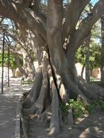 giardino sul Lungomare Mazzini - albero secolare - 9 maggio 2010  - Mazara del vallo (1631 clic)