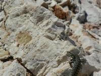 lucertola all'Isulidda - 2 agosto 2011  - Macari (836 clic)