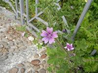 flora - 24 aprile 2011  - Calatafimi segesta (1331 clic)