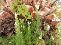 pianta e fiori nati su una palma - 28 aprile 2011  - Castellammare del golfo (982 clic)