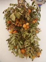 sorbo domestico a casa del sig. Benedetto Sarcona - 22 novembre 2011  - Castellammare del golfo (795 clic)