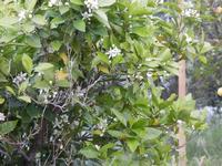 arancio con zagara - 22 aprile 2011  - Alcamo (1181 clic)