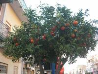 arancio - 8 marzo 2011  - Cinisi (1944 clic)