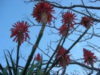 aloe in fiore - Riserva Naturale Orientata Isole dello Stagnone - 23 gennaio 2011  - Marsala (1331 clic)