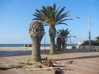 Via Curatolo - palme sul lungomare distrutte dal punteruolo rosso - 13 novembre 2011  - Marausa lido (810 clic)