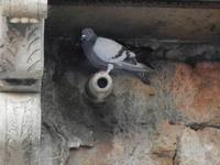 piccione - 21 agosto 2011  - Sambuca di sicilia (1159 clic)