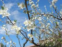 fiori di susino nel giardino di casa - 22 marzo 2011  - Alcamo (1161 clic)
