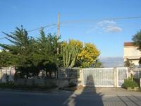 pini, cactus e mimosa - 8 marzo 2011  - Alcamo (1236 clic)