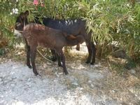 BAGLIO NOVO - asina ed asinello: allattamento - 15 agosto 2011  - Fulgatore (1418 clic)