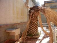 Zona Plaja - palma distrutta dal punteruolo rosso - 25 ottobre 2011  - Alcamo marina (620 clic)
