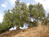 albero di olivo - 24 aprile 2011  - Alcamo (1079 clic)