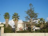 palme e pino sul Lungomare San Vito - 6 novembre 2011  - Mazara del vallo (561 clic)