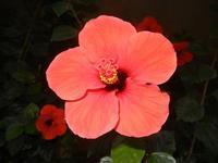 Zona Plaja - fiore di ibisco rosso - 18 settembre 2011  - Alcamo marina (645 clic)