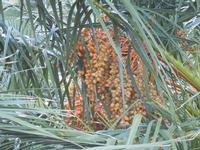 al Belvedere - datteri di palma - 23 ottobre 2011  - Castellammare del golfo (606 clic)