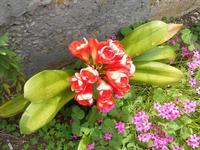 fiori - 21 aprile 2011  - Alcamo (1061 clic)