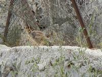 falco nei pressi dell'Isulidda - 24 luglio 2011  - Macari (951 clic)