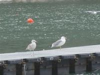 gabbiani al porto - 2 novembre 2011  - Castellammare del golfo (759 clic)