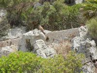 falco nei pressi dell'Isulidda - 24 luglio 2011  - Macari (862 clic)