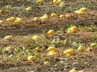 SANT'ANDREA - campo di meloni gialli - 4 agosto 2011  - Marausa (2706 clic)