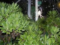 ragno e ragnatela - 2 novembre 2011  - Alcamo (602 clic)