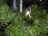 ragno e ragnatela - 2 novembre 2011  - Alcamo (631 clic)