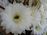 fiori di cactus - 2 giugno 2011  - Alcamo (810 clic)