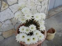 fiori di cactus - 2 giugno 2011  - Alcamo (808 clic)