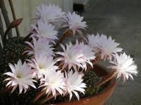fiori di cactus - 2 giugno 2011  - Alcamo (823 clic)