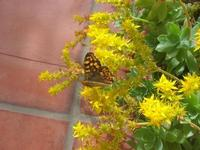farfalla sui fiori gialli di pianta grassa - 25 marzo 2010  - Alcamo (6569 clic)