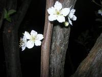 fiori di pruno - 25 marzo 2010  - Alcamo (2188 clic)