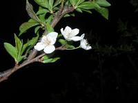 fiori di pruno - 25 marzo 2010  - Alcamo (2189 clic)