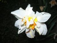 narciso con insetti - 25 marzo 2010  - Alcamo (2171 clic)