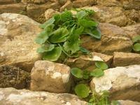muro in pietra e vegetazione spontanea - 5 aprile 2010   - Erice (2205 clic)